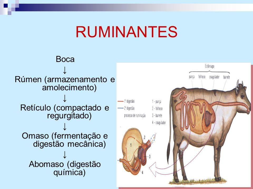 RUMINANTES Boca Rúmen (armazenamento e amolecimento) Retículo (compactado e regurgitado) Omaso (fermentação e digestão mecânica) Abomaso (digestão quí