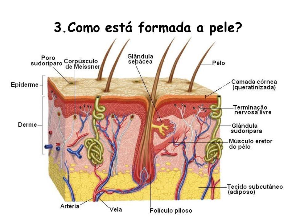 Epiderme A epiderme (grego: EPI = acima; DERMA = pele) apresenta-se pluriestratificada (várias camadas) e as células superficiais vão acumulando uma proteína impermeável e insolúvel, a queratina.