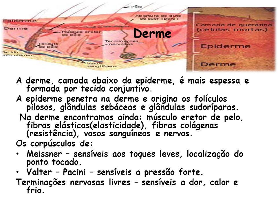 Derme A derme, camada abaixo da epiderme, é mais espessa e formada por tecido conjuntivo. A epiderme penetra na derme e origina os folículos pilosos,