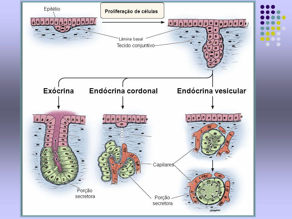 Proliferação de células Lâmina basal Tecido conjuntivo ExócrinaEndócrina cordonalEndócrina vesicular Porção secretora Porção secretora Capilares Epité