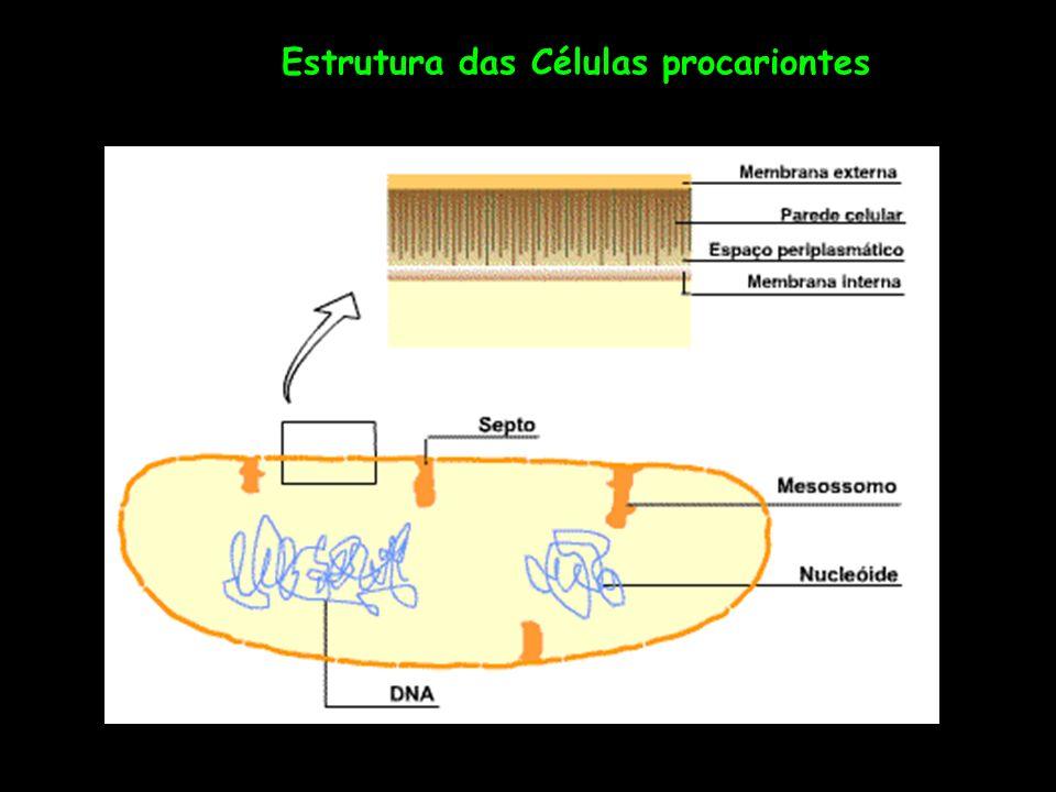 Não possuem citoplasma compartimentalizado O cromossomo está imerso no citoplasma Possuem: Parede rígida – 20 nm de espessura Ribossomos ligados ao RNAm polirribosomas Um ou mais cromossomos idênticos, circulares Nucleóide Não se dividem por mitose, ausência de citoesqueleto A célula procarionte mais bem estudada é a Escherichia coli Simplicidade estrutural e rapidez de multiplicação