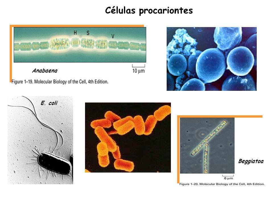 Comparação da estrutura de célula procariótica e eucariótica : procariótica: nucleóide sem organelas ribossomos eucariótica: núcleo organelas (Madigan et al., Fig 2.1)