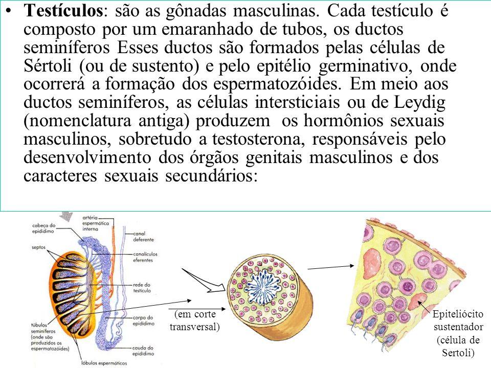 O sistema reprodutor masculino é formado por: Testículos ou gônadas Vias espermáticas: epidídimo, canal deferente, uretra. Pênis Escroto Glândulas ane