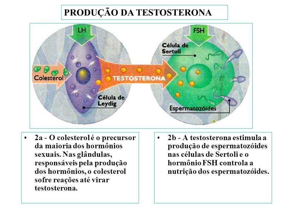 PRODUÇÃO DA PROGESTERONA 1 - A hipófise, uma glândula do cérebro, libera os hormônios luteinizanante (LH) e o folículo estimulante (FSH). 2 - No testí