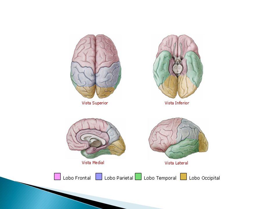 O cérebro, órgão de integração central, é dividido em dois hemisférios cerebrais. Córtex cerebral:camada mais externacorpos celulares de neurônios. Ca
