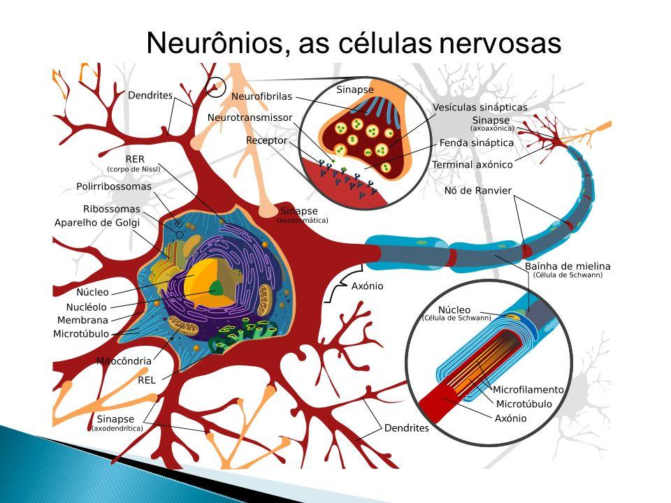 Células gliaissão células não neuronais do SNC que proporcionam suporte e nutrição aos neurônios. Geralmente arredondadas, no cérebro humano as célula