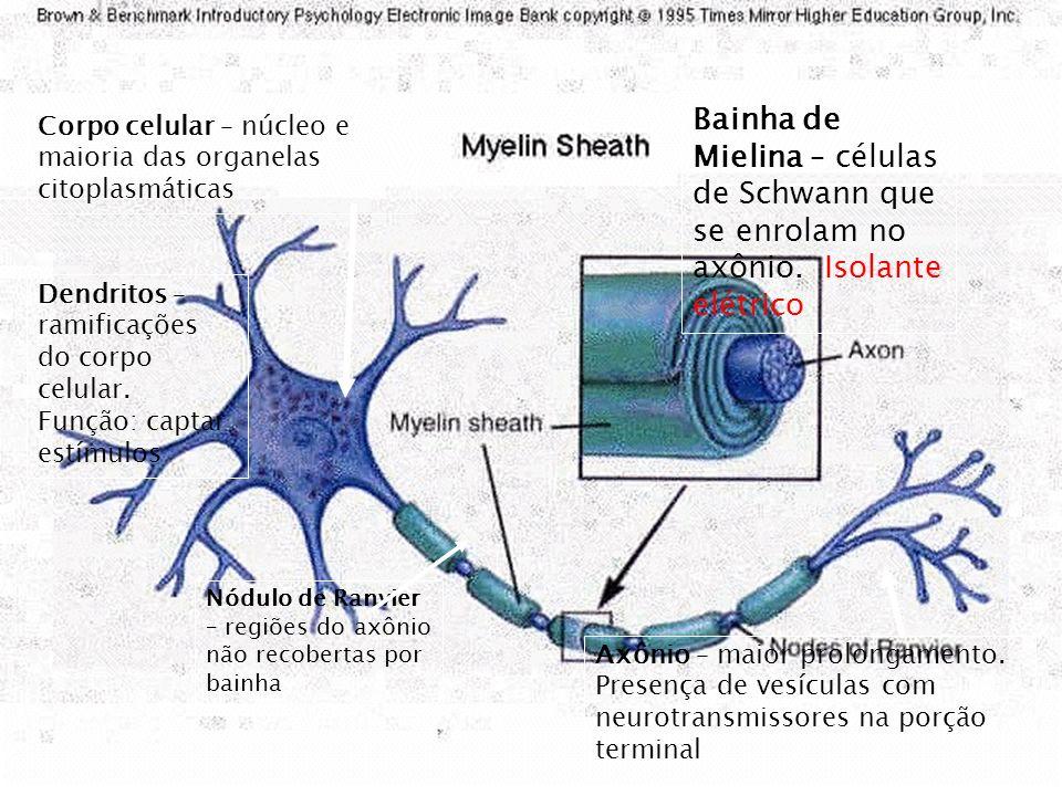 Neurônio: tem a função de captar, conduzir e transmitir impulsos nervosos. É constituído de três partes: dendrito, corpo celular e axônio.. Dendritos: