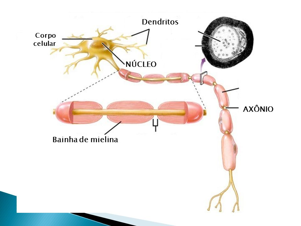Corpo celular – núcleo e maioria das organelas citoplasmáticas Dendritos – ramificações do corpo celular. Função: captar estímulos Axônio – maior prol