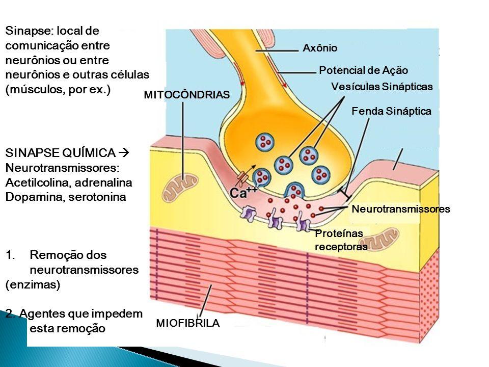 SINAPSE SINAPSE : estrutura altamente especializada, local onde há passagem do impulso nervoso entre neurônios, nervo -glândula ou nervo - músculo Tip
