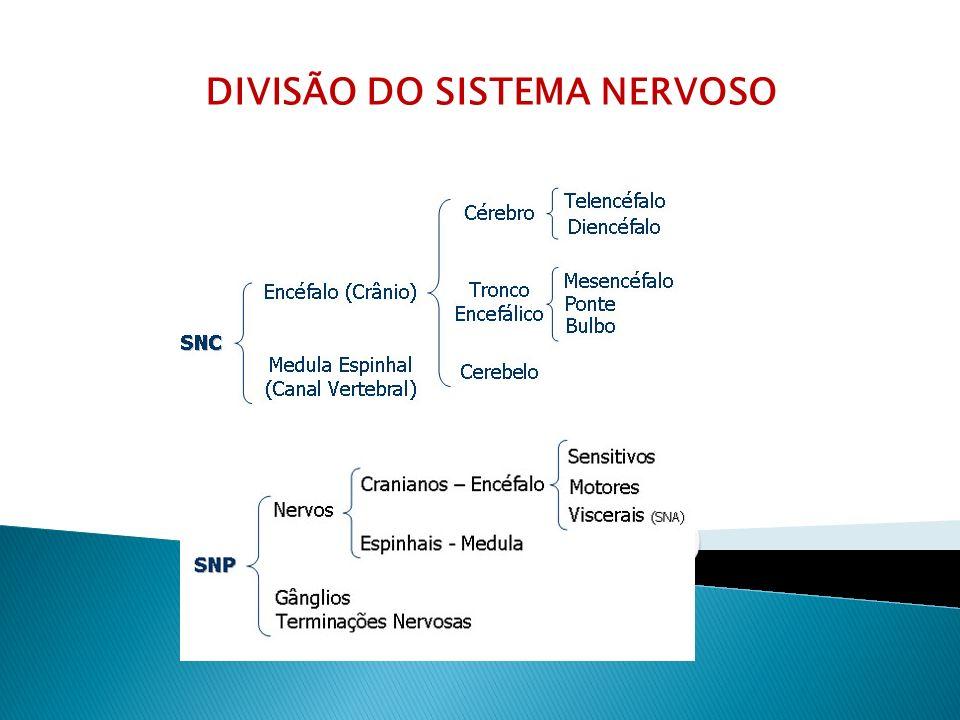 Divisões SNC(sistema nervoso central) – encéfalo(cérebro, bulbo, ponte e cerebelo) e medula espinhalfunções: processamento e integração de informações