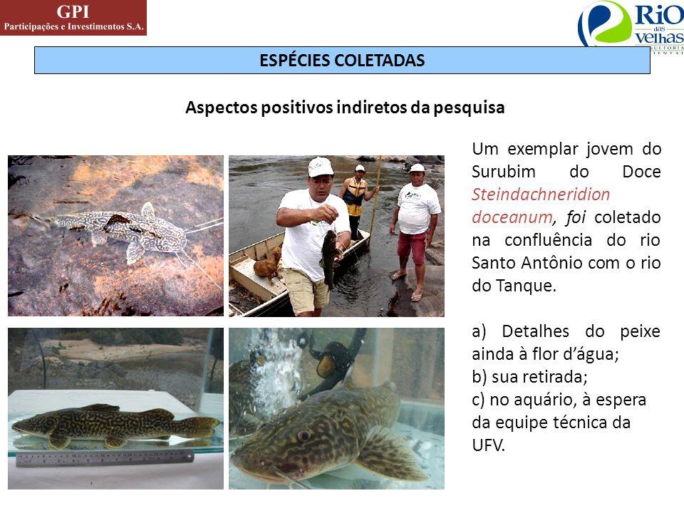 Aspectos positivos indiretos da pesquisa Um exemplar jovem do Surubim do Doce Steindachneridion doceanum, foi coletado na confluência do rio Santo Ant