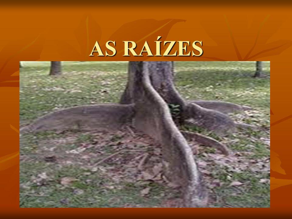 A RAIZ: FIXAÇÃO E ABSORÇÃO AS RAÍZES SÃO ÓRGÃOS QUE FIXAM AS PLANTAS TERRESTRES NO SOLO (OU EM OUTRO SUBSTRATO) E ABSORVEM ÁGUA E SAIS MINERAIS DISPONÍVEIS NO AMBIENTE.