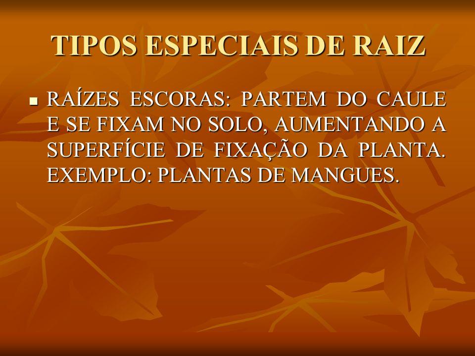 TIPOS ESPECIAIS DE RAIZ RAÍZES ESCORAS: PARTEM DO CAULE E SE FIXAM NO SOLO, AUMENTANDO A SUPERFÍCIE DE FIXAÇÃO DA PLANTA. EXEMPLO: PLANTAS DE MANGUES.