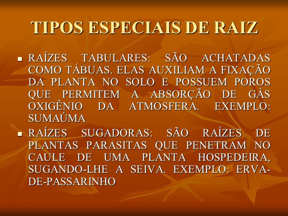 TIPOS ESPECIAIS DE RAIZ RAÍZES TABULARES: SÃO ACHATADAS COMO TÁBUAS. ELAS AUXILIAM A FIXAÇÃO DA PLANTA NO SOLO E POSSUEM POROS QUE PERMITEM A ABSORÇÃO