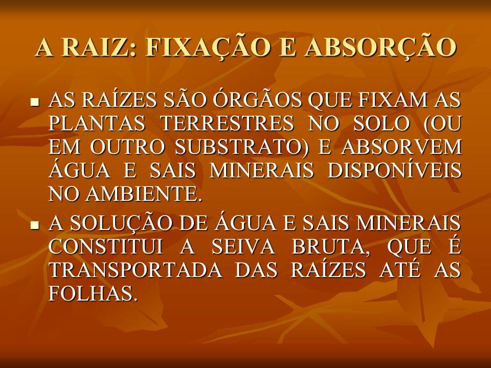A RAIZ: FIXAÇÃO E ABSORÇÃO NAS FOLHAS, PARTE DA ÁGUA ABSORVIDA É UTILIZADA NA FOTOSSÍNTESE.