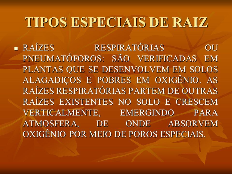 TIPOS ESPECIAIS DE RAIZ RAÍZES RESPIRATÓRIAS OU PNEUMATÓFOROS: SÃO VERIFICADAS EM PLANTAS QUE SE DESENVOLVEM EM SOLOS ALAGADIÇOS E POBRES EM OXIGÊNIO.