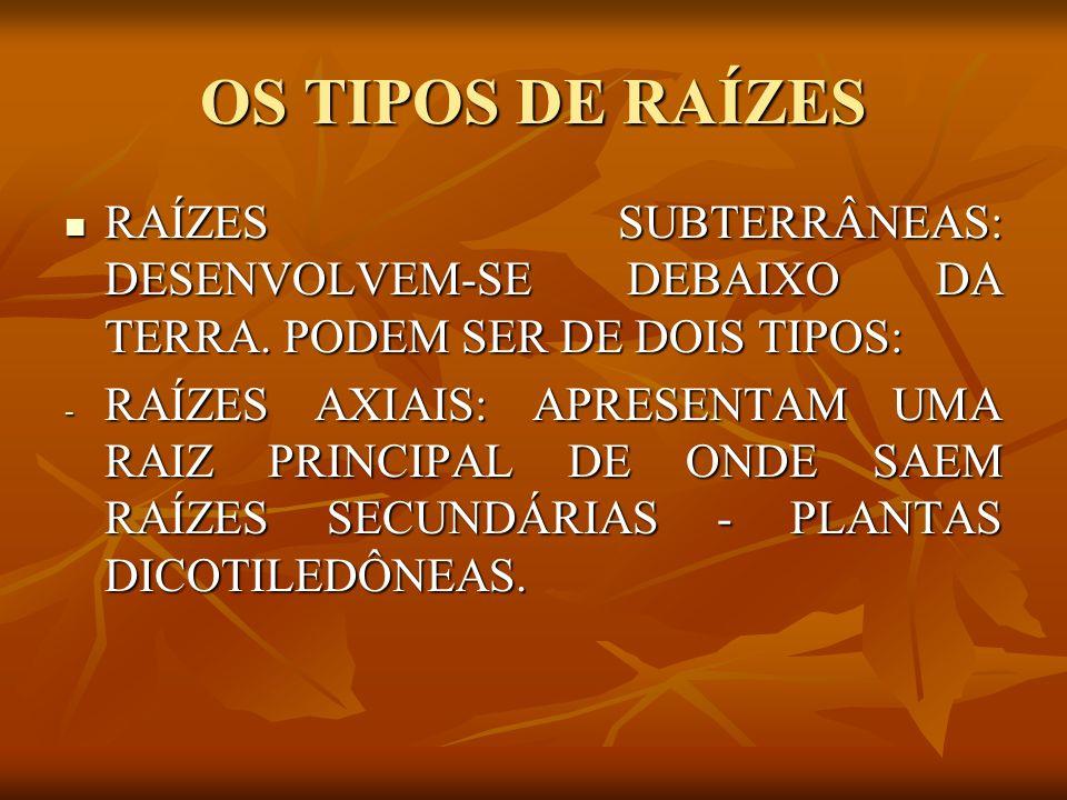 TIPOS ESPECIAIS DE RAIZ RAÍZES TABULARES: SÃO ACHATADAS COMO TÁBUAS.
