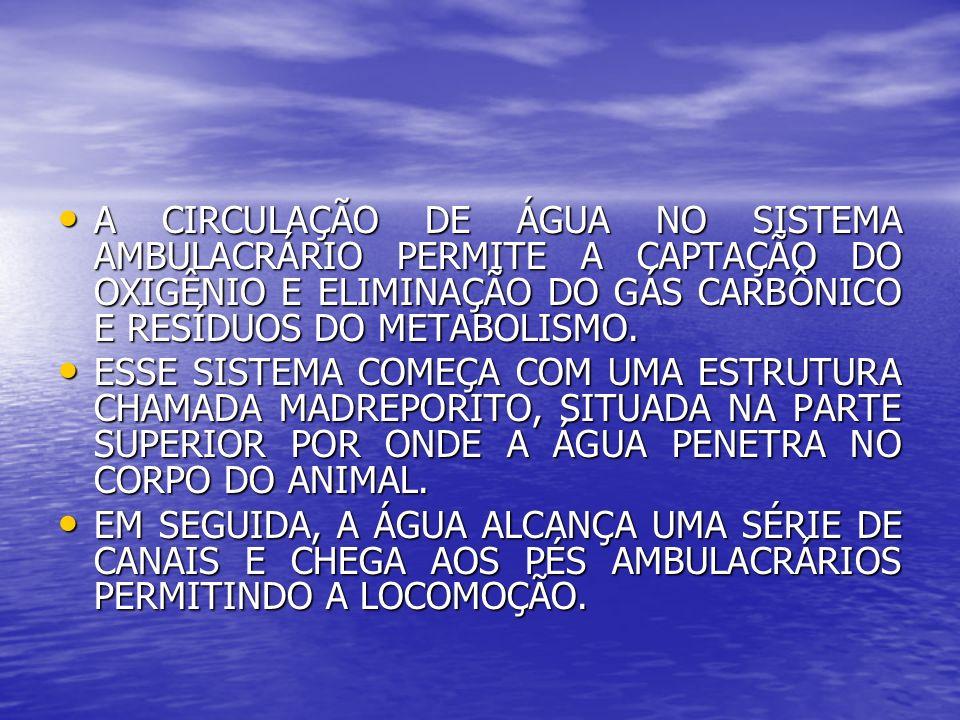 A CIRCULAÇÃO DE ÁGUA NO SISTEMA AMBULACRÁRIO PERMITE A CAPTAÇÃO DO OXIGÊNIO E ELIMINAÇÃO DO GÁS CARBÔNICO E RESÍDUOS DO METABOLISMO. A CIRCULAÇÃO DE Á