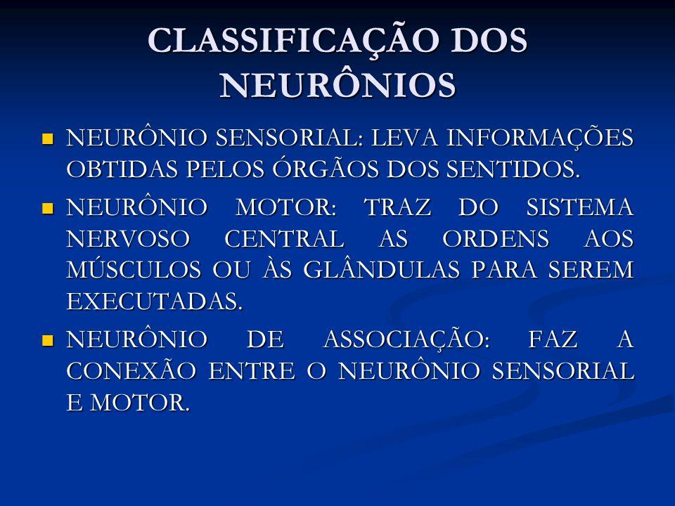 CLASSIFICAÇÃO DOS NEURÔNIOS NEURÔNIO SENSORIAL: LEVA INFORMAÇÕES OBTIDAS PELOS ÓRGÃOS DOS SENTIDOS. NEURÔNIO SENSORIAL: LEVA INFORMAÇÕES OBTIDAS PELOS