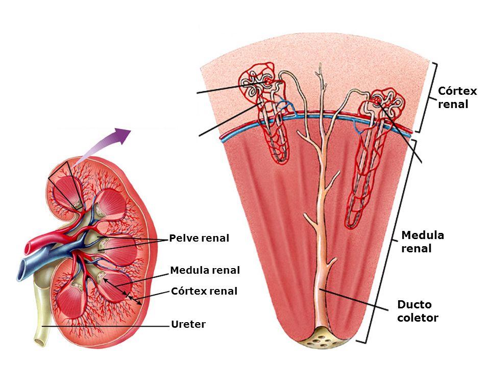Formação da urina Os rins retiram do sangue as substâncias nocivas que se encontram no plasma; Ureia; Ácido úrico.