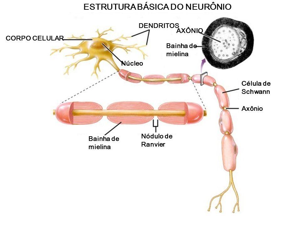 DivisãoPartes Funções Gerais Sistema Nervoso Central (SNC) Sistema Nervoso Periférico (SNP) Encéfalo e Medula Espinhal Nervos e gânglios Processamento