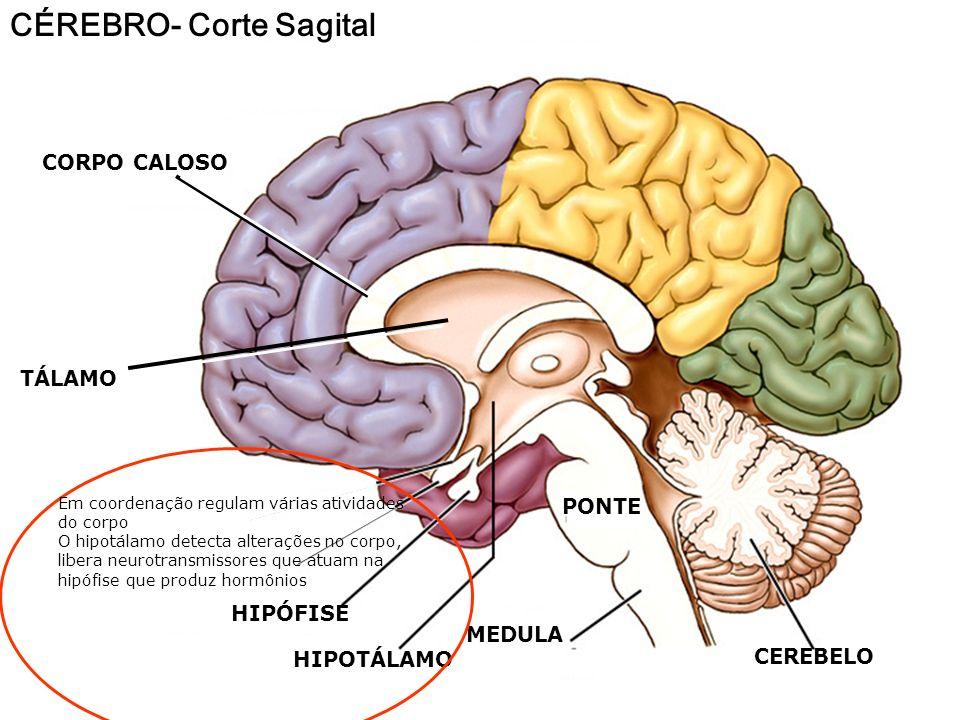 LOBOS CEREBRAIS LOBO FRONTAL: Pensamento, emoções ÁREA DE BROCA Parte motora da fala Área motora voluntária SULCO CENTRAL Tato e outras áreas sensoria