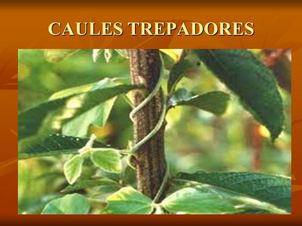 CAULES TREPADORES