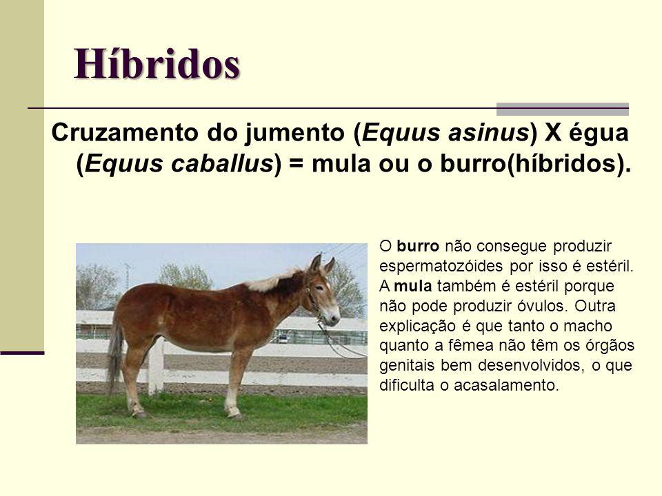 Híbridos Cruzamento do jumento (Equus asinus) X égua (Equus caballus) = mula ou o burro(híbridos). O burro não consegue produzir espermatozóides por i