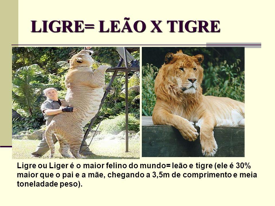 LIGRE= LEÃO X TIGRE Ligre ou Liger é o maior felino do mundo= leão e tigre (ele é 30% maior que o pai e a mãe, chegando a 3,5m de comprimento e meia t