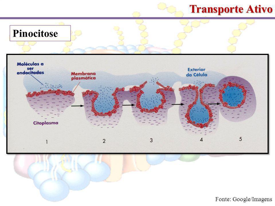 Transporte Ativo Pinocitose Fonte: Google/Imagens
