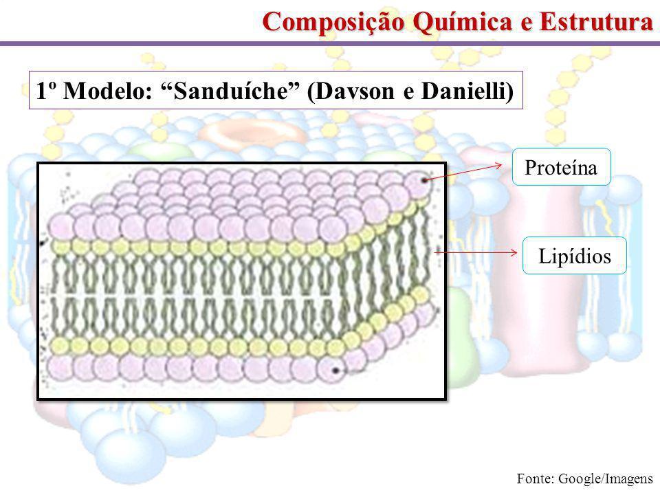 Composição Química e Estrutura 1º Modelo: Sanduíche (Davson e Danielli) Proteína Lipídios Fonte: Google/Imagens