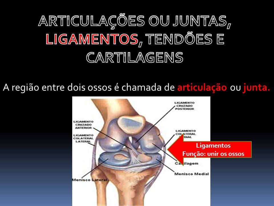 A região entre dois ossos é chamada de articulação ou junta. Ligamentos Função: unir os ossos