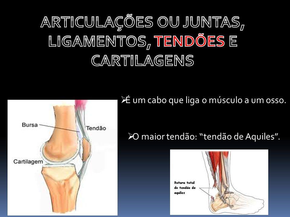 É um cabo que liga o músculo a um osso. O maior tendão: tendão de Aquiles.