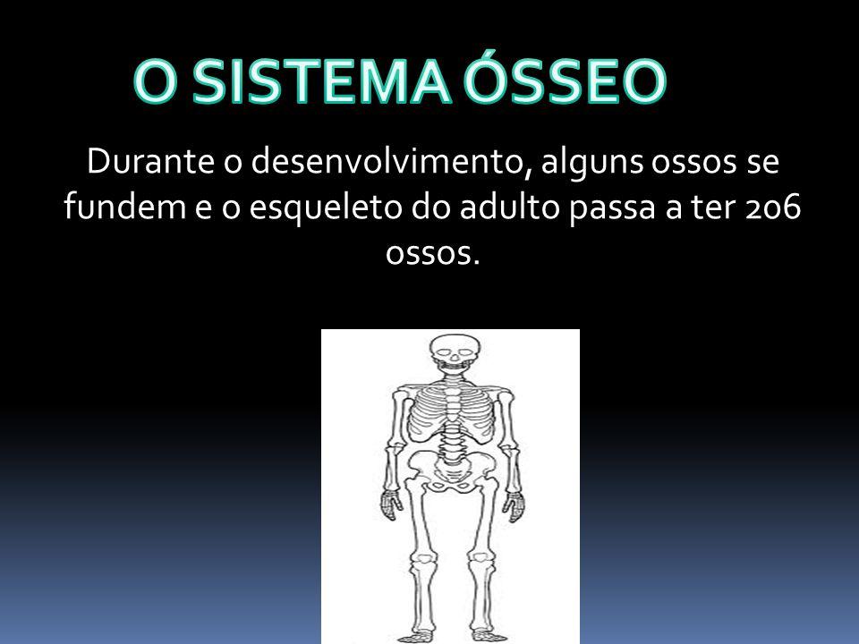 Durante o desenvolvimento, alguns ossos se fundem e o esqueleto do adulto passa a ter 206 ossos.