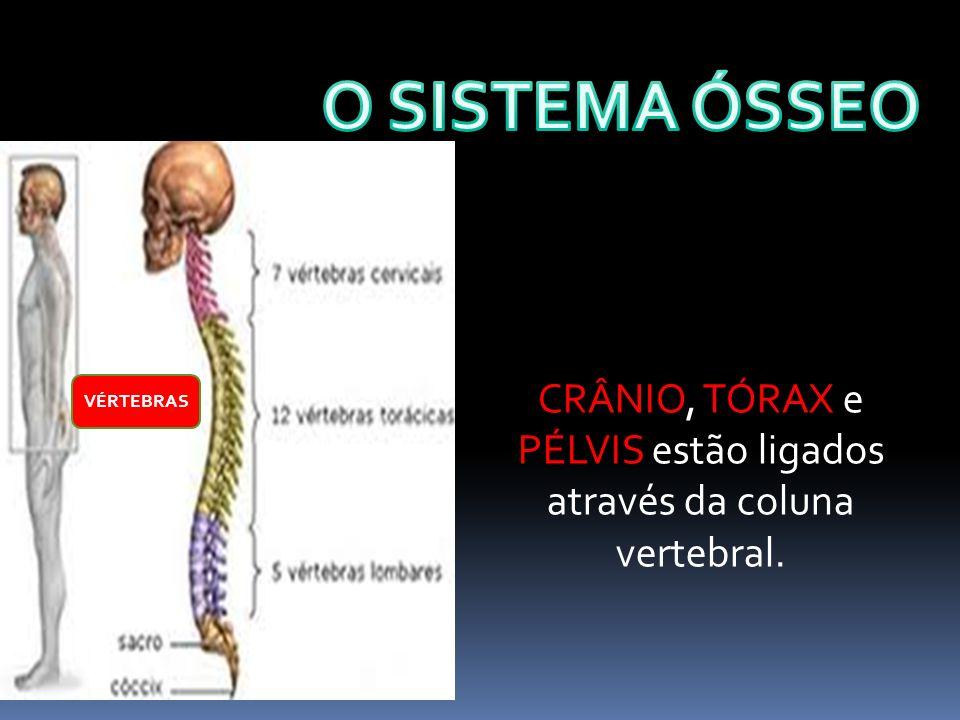 CRÂNIO, TÓRAX e PÉLVIS estão ligados através da coluna vertebral. VÉRTEBRAS