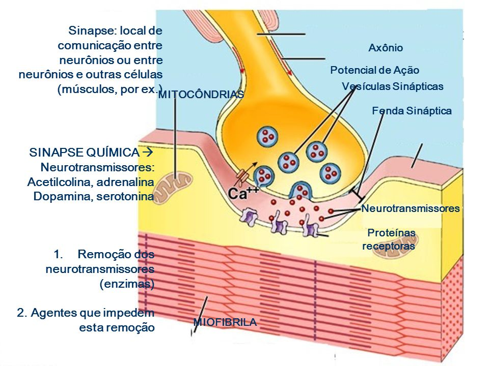 NEUROTRANSMISSORES Noradrenalina: excitação física e mental e bom humor- mediadora de batimentos cardíacos, pressão e glicose Noradrenalina: excitação