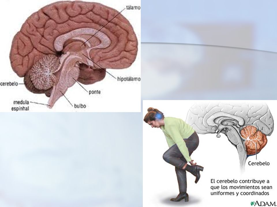continuação BULBO: Substância branca na parte externa- Função: condução de impulsos nervosos do cérebro para a medula- controle da respiração, circula