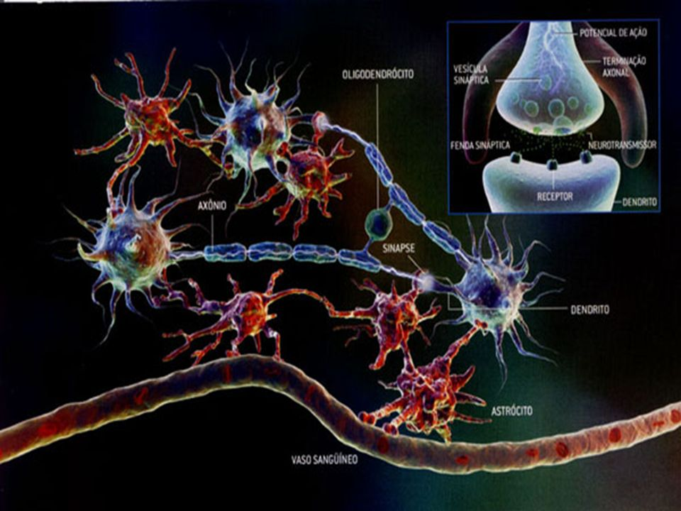 SISTEMA NERVOSO PERIFÉRICO Nervos e gânglios Nervos e gânglios FUNÇÃO: Conexão com o SNC FUNÇÃO: Conexão com o SNC Nervos sensitivos (aferentes), motores (eferentes) e mistos Nervos sensitivos (aferentes), motores (eferentes) e mistos Nervos cranianos: 12 pares-3 sensoriais-5 motores-4 mistos Nervos cranianos: 12 pares-3 sensoriais-5 motores-4 mistos Nervos raquidianos: 31 pares Nervos raquidianos: 31 pares