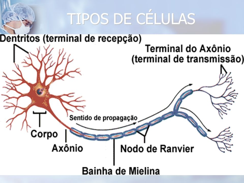 TIPOS DE CÉLULAS
