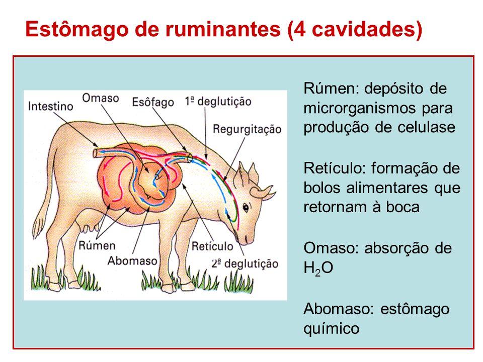 Estômago de ruminantes (4 cavidades) Rúmen: depósito de microrganismos para produção de celulase Retículo: formação de bolos alimentares que retornam