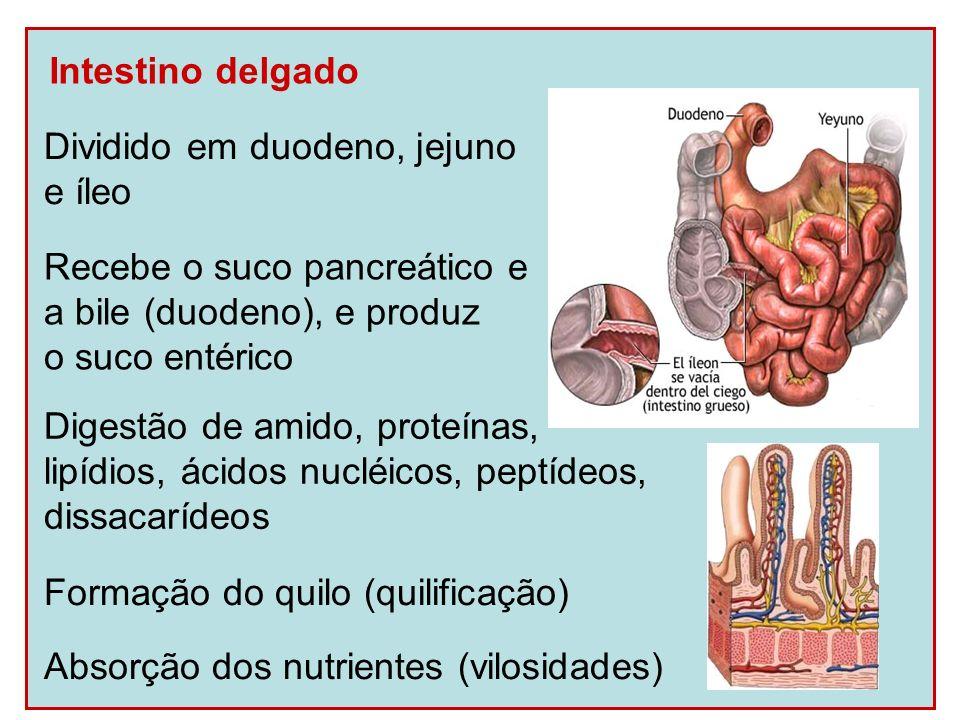 Intestino delgado Dividido em duodeno, jejuno e íleo Recebe o suco pancreático e a bile (duodeno), e produz o suco entérico Digestão de amido, proteín