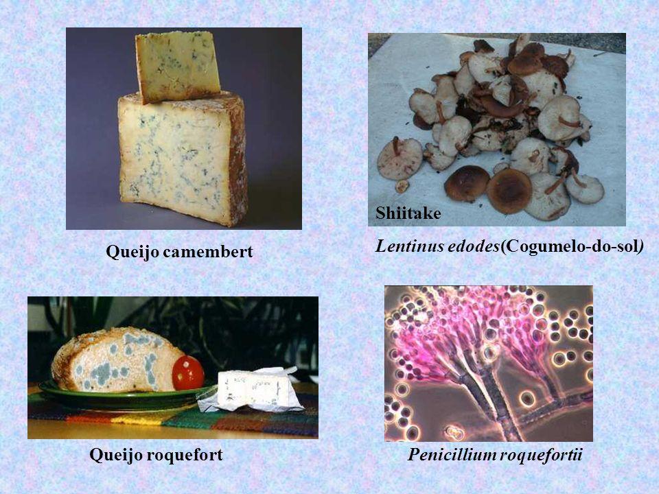 Queijo camembert Queijo roquefort Shiitake Lentinus edodes(Cogumelo-do-sol) Penicillium roquefortii