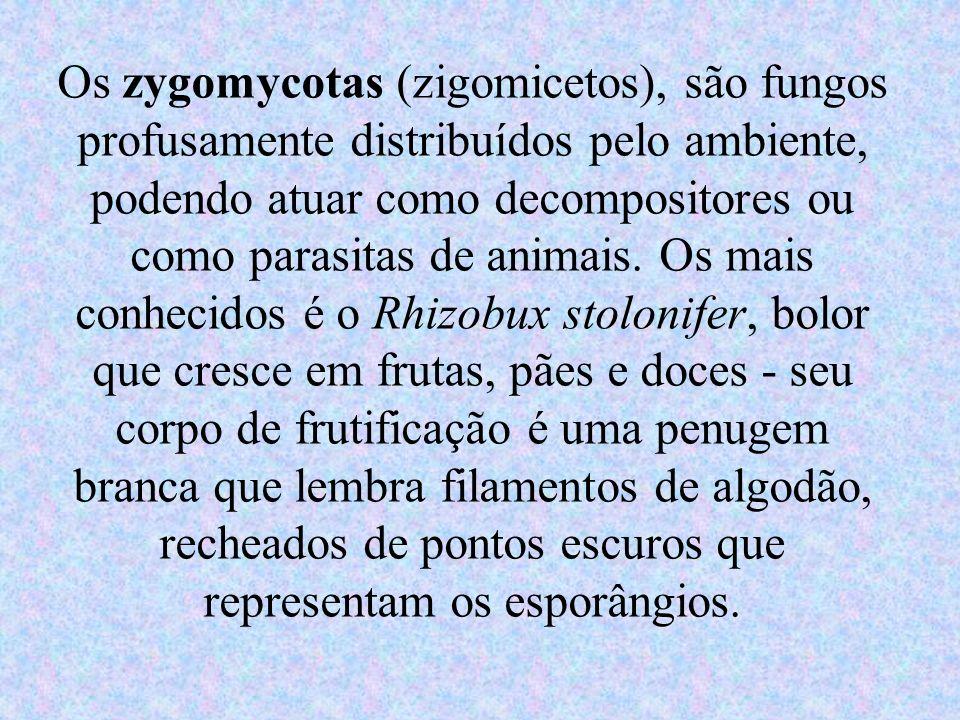 Os zygomycotas (zigomicetos), são fungos profusamente distribuídos pelo ambiente, podendo atuar como decompositores ou como parasitas de animais. Os m