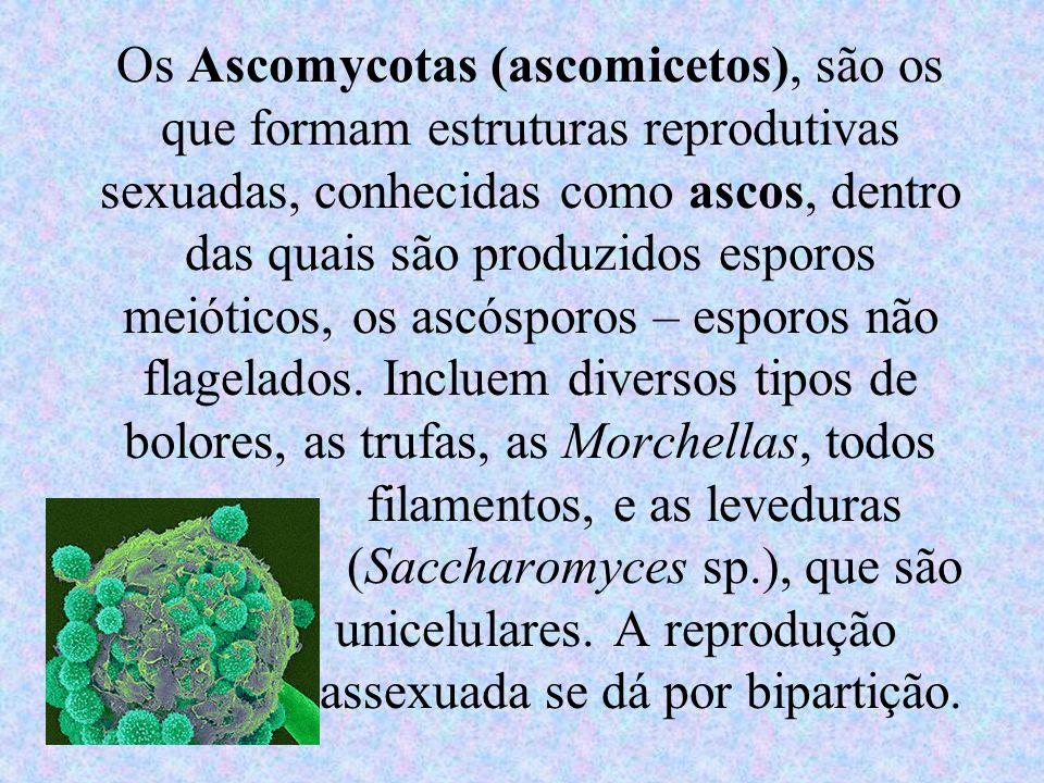 Os Ascomycotas (ascomicetos), são os que formam estruturas reprodutivas sexuadas, conhecidas como ascos, dentro das quais são produzidos esporos meiót