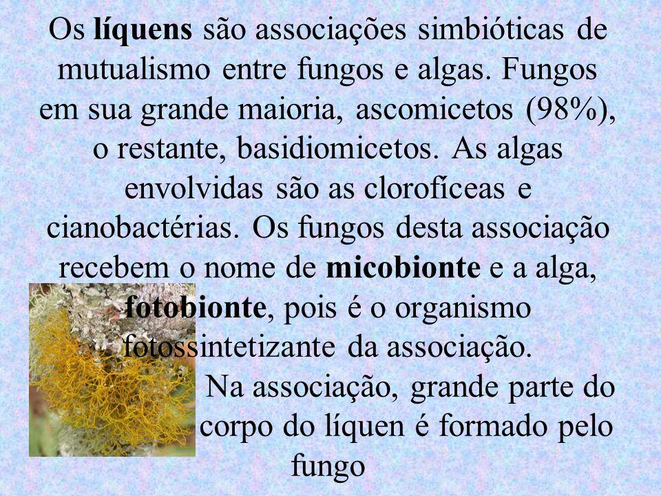 Os líquens são associações simbióticas de mutualismo entre fungos e algas. Fungos em sua grande maioria, ascomicetos (98%), o restante, basidiomicetos