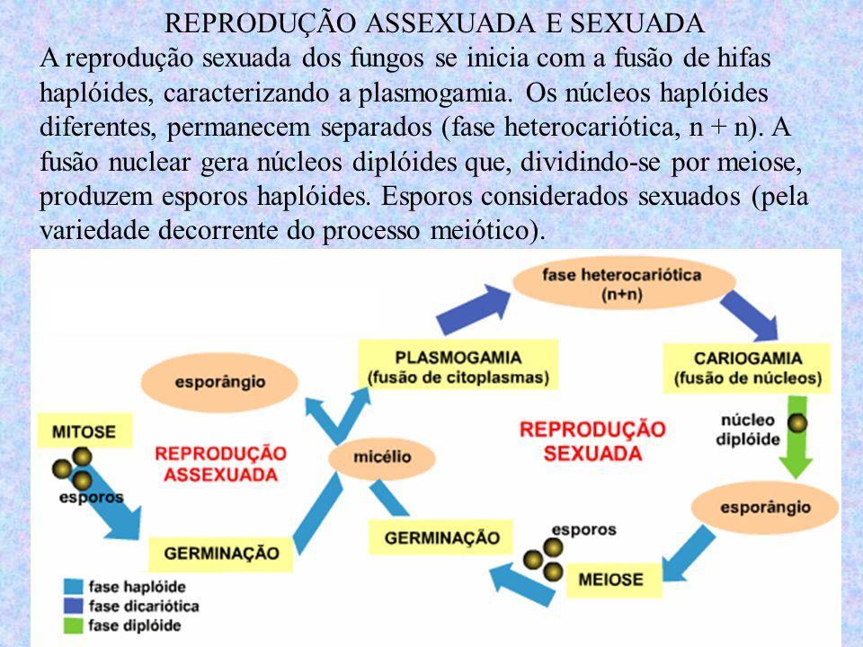 REPRODUÇÃO ASSEXUADA E SEXUADA A reprodução sexuada dos fungos se inicia com a fusão de hifas haplóides, caracterizando a plasmogamia. Os núcleos hapl
