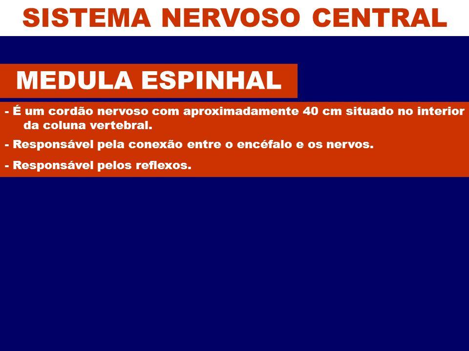 SISTEMA NERVOSO CENTRAL MEDULA ESPINHAL - É um cordão nervoso com aproximadamente 40 cm situado no interior da coluna vertebral. - Responsável pela co