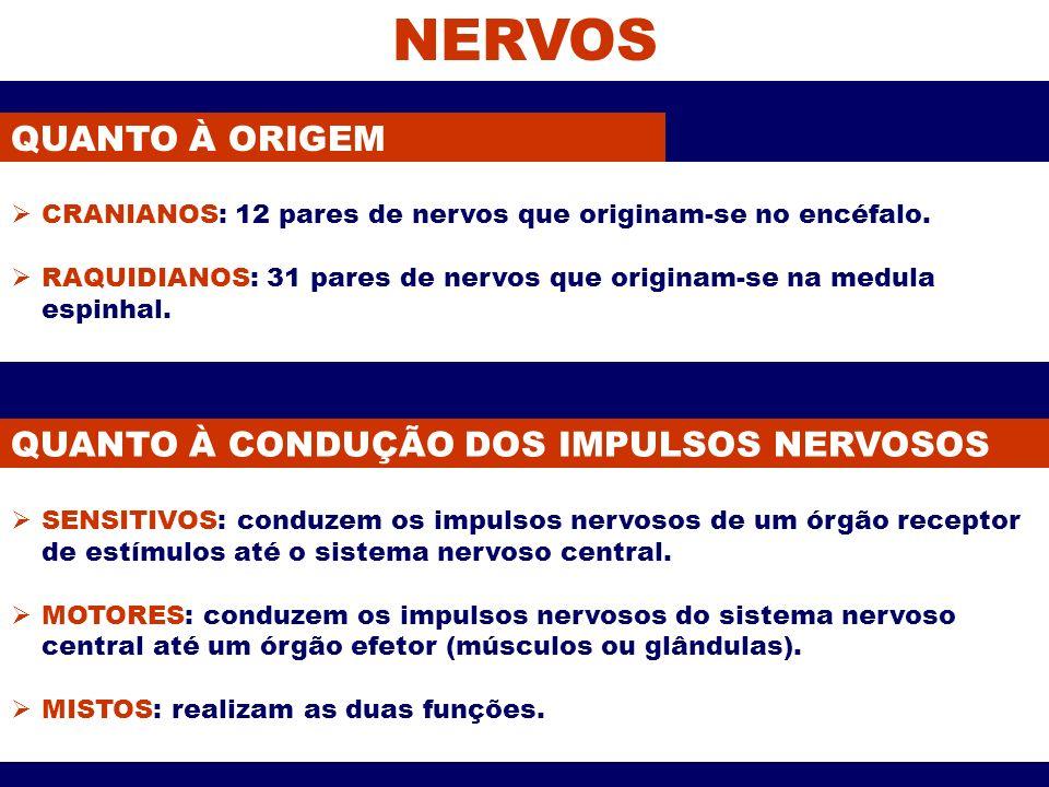 NERVOS QUANTO À ORIGEM QUANTO À CONDUÇÃO DOS IMPULSOS NERVOSOS SENSITIVOS: conduzem os impulsos nervosos de um órgão receptor de estímulos até o siste