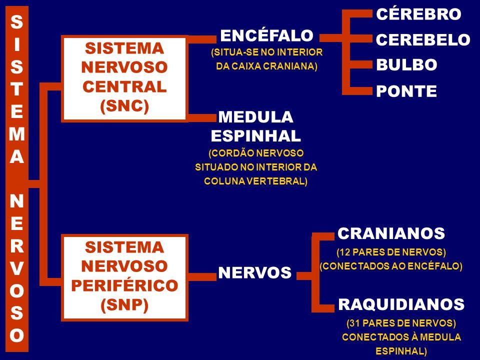 ENCÉFALO (SITUA-SE NO INTERIOR DA CAIXA CRANIANA) CRANIANOS (12 PARES DE NERVOS) (CONECTADOS AO ENCÉFALO) CÉREBRO PONTE BULBO CEREBELO MEDULA ESPINHAL
