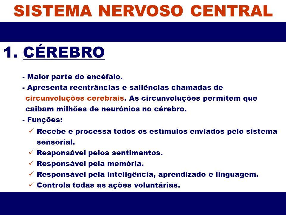 SISTEMA NERVOSO CENTRAL 1. CÉREBRO - Maior parte do encéfalo. - Apresenta reentrâncias e saliências chamadas de circunvoluções cerebrais. As circunvol